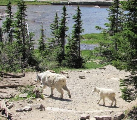 Mountain-Goat-Baby-Trail