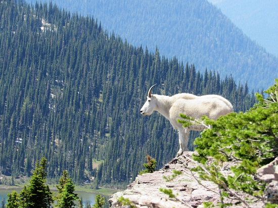 Mountain-Goat-Close