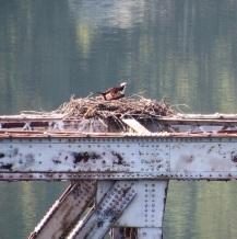 I saw an osprey!
