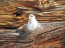 A Violet-Green Swallow Chick