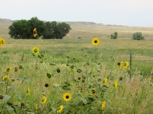 Prairie Sunflowers in Montana