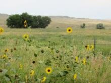 Prairie Sunflowers in Montana