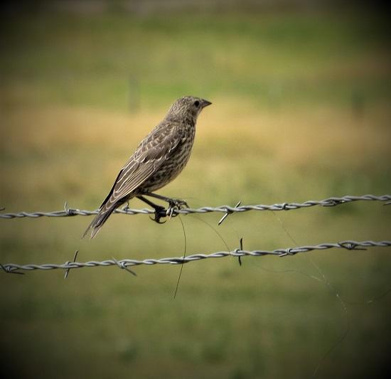 A juvenile Brown-Headed Cowbird