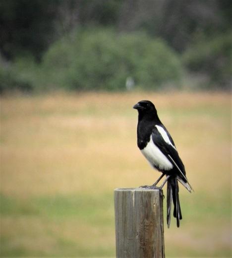 A Magpie!