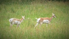Female pronghorn and her fawn