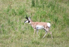 A Pronghorn out for a stroll