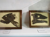 More fish fossils