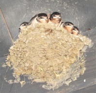 Baby swallows at 1880 Town