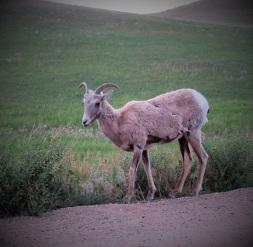 Badlands-Bighorn-Ewe-2019