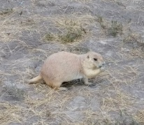 Badlands-Prairie-Dog1