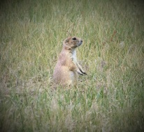 Badlands-Prairie-Dog2