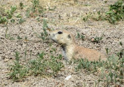 Badlands-Prairie-Dog3