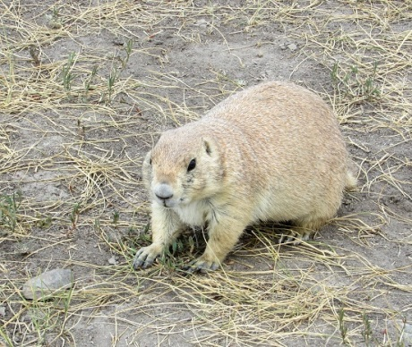 Badlands-Prairie-Dog5