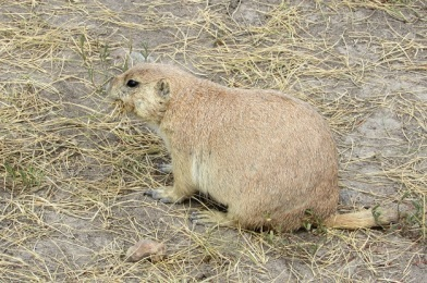 Badlands-Prairie-Dog6