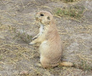 Badlands-Prairie-Dog7