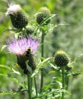 A bumblebee on thistle