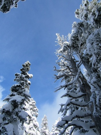 The snow-laden trees