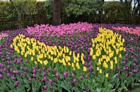 Tulip Festival (11)