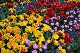 Tulip Festival (12)