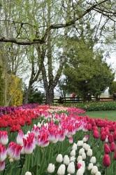 Tulip Festival (14)