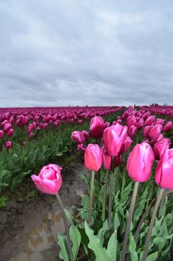Tulip Festival (21)