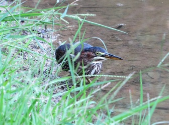 Green-Heron-Kentucky