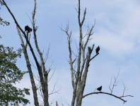 There were 4 vultures in the tree