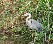 A Great Blue Heron!