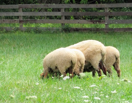 Sheep butts!