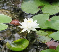 A lilypad!