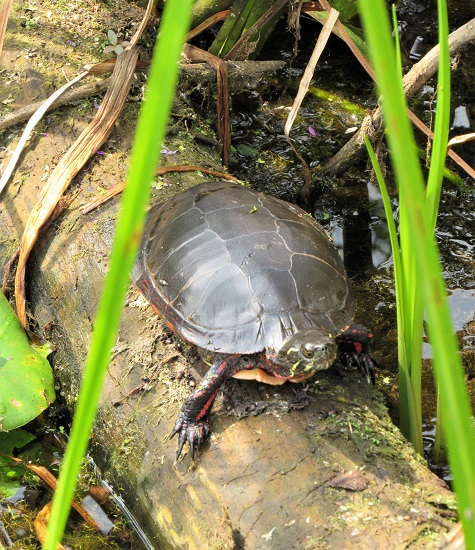 A painted turtle!