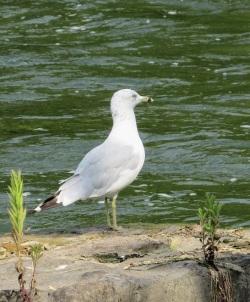 Niagara-Falls-Gull