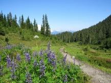 Lupine-Mount-Bker
