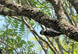 Acadia-Woodpecker