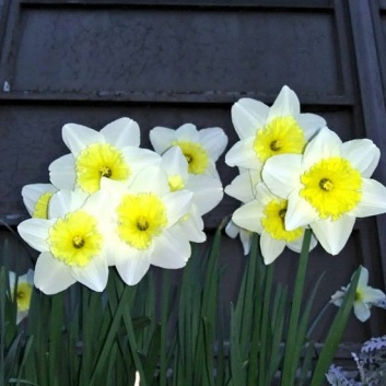 3-2021-WWU-Daffodils